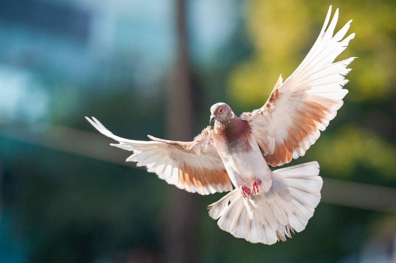 bird, dove, animal-3731811.jpg