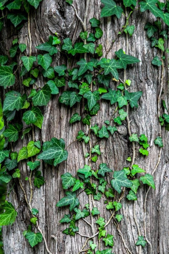 ivy, leaves, creeper-1030964.jpg