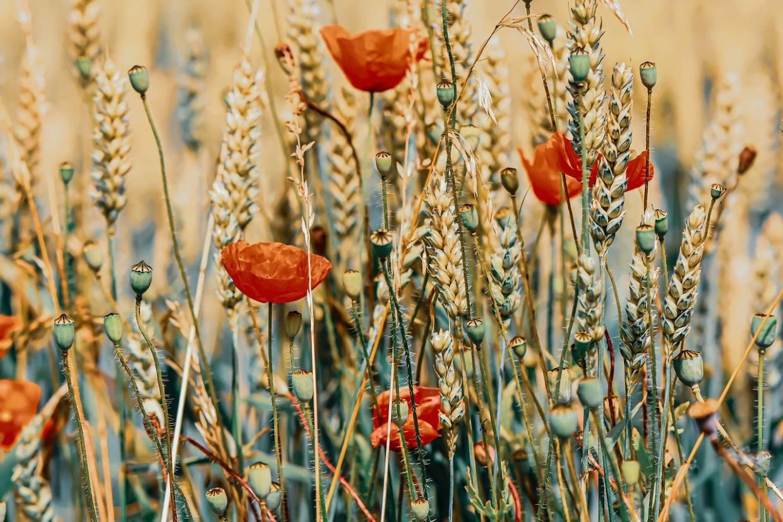 poppies, flowers, wheat field-5369740.jpg